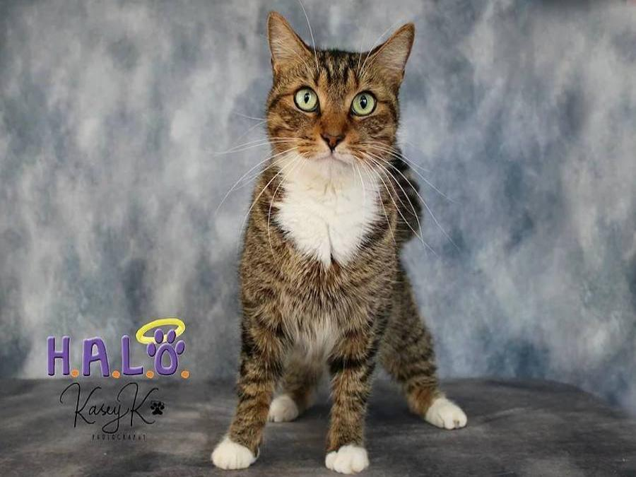 cat for adoption Halo No-Kill Resue Sebastian Florida