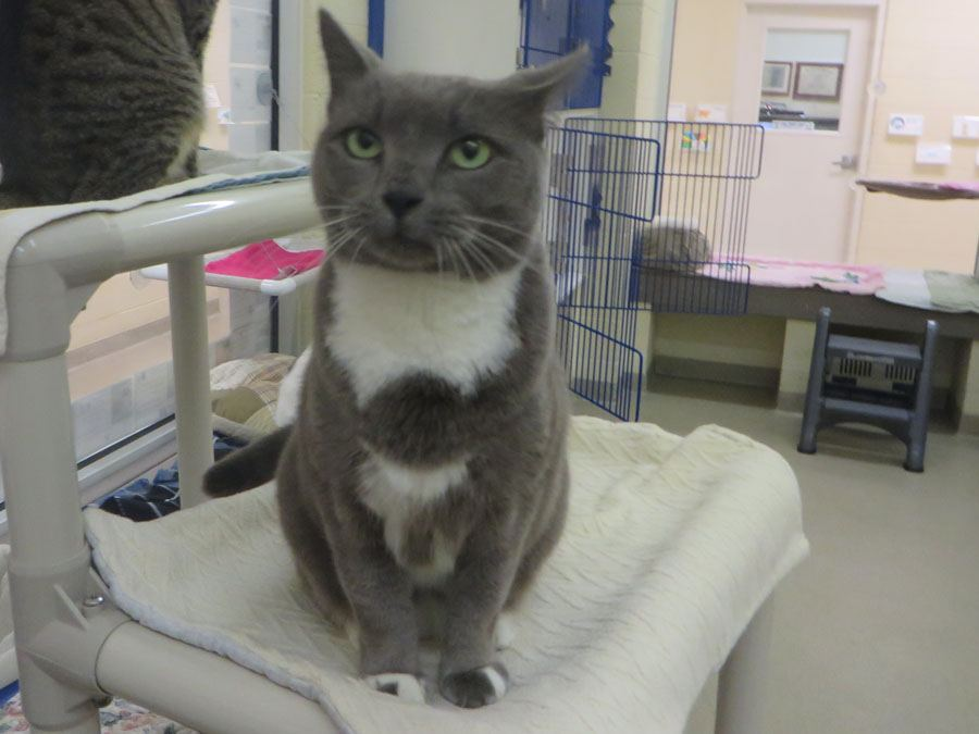 cat for adoption Humane Society Vero Beach Florida
