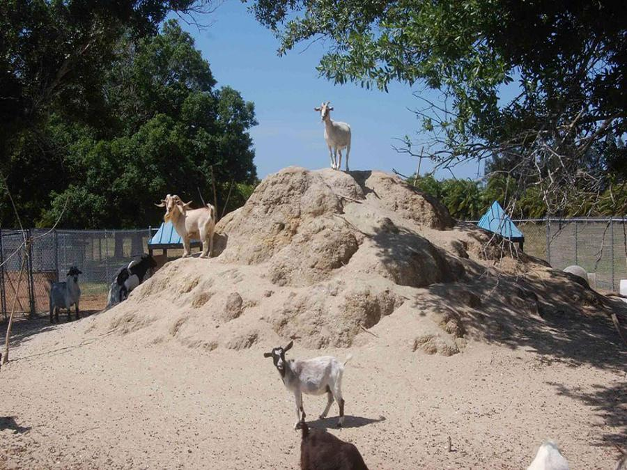 Critter Haven goats on hill