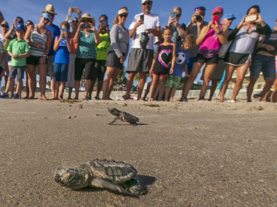 Loggerhead hatching released as part of a Turtle Dig