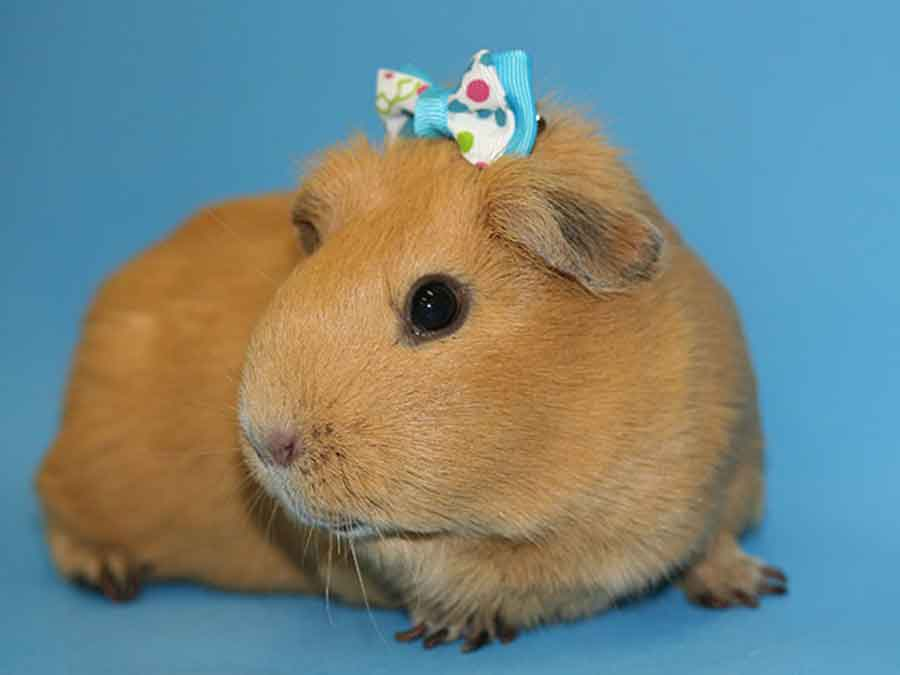 Hamster with ribbon on head