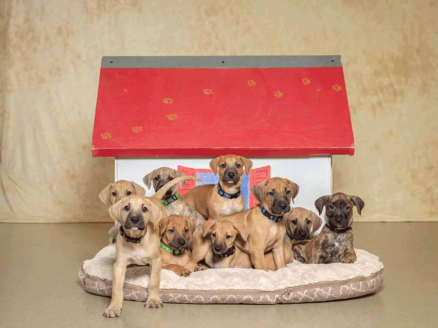 9 puppies in front of dog house